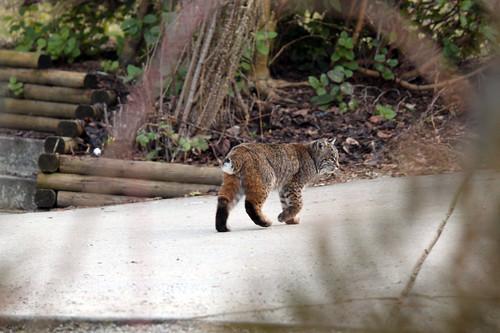 bobcat in Sechelt BC
