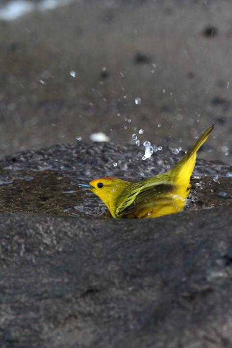 012611_yellowWarbler2c