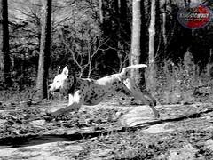 I Fly High, No Lie, Ballin' (Willow Creek Photography) Tags: dog dogs puppy jump puppies friend tyson canine pitbull funnydog mansbestfriend k9 loyalty apbt americanpitbullterrier whitepitbull pitbullterrier doginaction dogjumping activedog malepitbull spottedpitbull