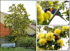 """Golden Penda"" collage (Tatters:)) Tags: park tree bird yellow collage mosaic lorikeet parrot australia qld rainbowlorikeet yellowflowers floweringtree myrtaceae goldenpenda xanthostemonchrysanthus middlepark xanthostemon arfp qrfp arfflowers yellowarfflowers tropicalarf"