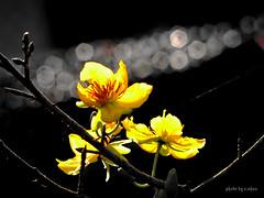 bokeh and backlighting #10 (e.nhan) Tags: flowers light flower art nature yellow closeup spring dof bokeh backlighting enhan