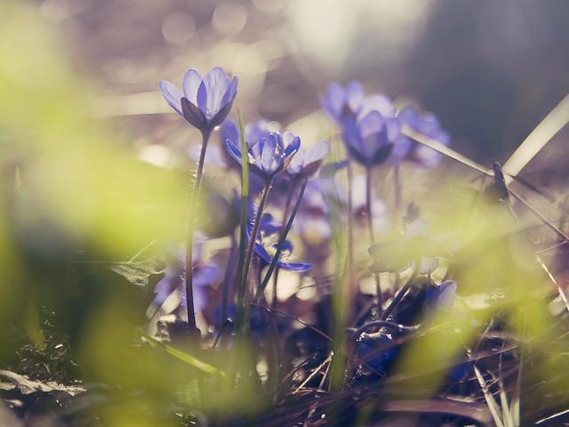 Spring - Liverleaf
