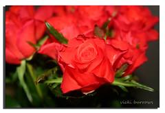 RED ROSES (vicki127.) Tags: flowers red green leaves rose dof canon300d february soe 2011 digitalcameraclub youmademyday flickraward ilovemypics wonderfulworldofflowers mygearandme adobephotoshopcs5 ringofexcellence vickiburrows vicki127 febuary2011