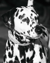 """ Macy "" ~ A Lady In Her Own Right ~ Monochrome ! (Kap'n'Kaos~Too) Tags: dog nature disney dalmation 101dalmations kapnkaos~too"