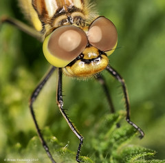 Tamron SP AF 90mm F/2.8 Di MACRO (Transcontinenta) Tags: holland macro eye insect eyes dragonfly creative nederland thenetherlands groningen moment ogen tamron 90mm oog appingedam thelook libel tamronspaf90mmf28dimacro11 creativemoment tamronspaf90mmf28dimacro sonyalpha700 bramreinders ©bramreindersappingedam wwwbramreindersnl nieuwsgierigheidisdebronvanallekennis curiosityisthesourceofallknowledge marumidrf14sringflash