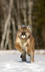 Cougar (Puma concolor) running in snow (Stan Tekiela's Nature Smart Wildlife Images) Tags: winter usa snow mammal unitedstatesofamerica running captive cougar stockimages pumaconcolor vertebrates mamalia stantekiela naturesmartwildlifewordsandimages