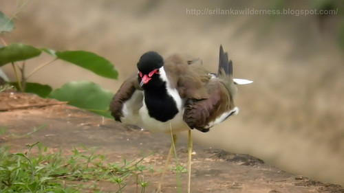 Red-wattled Lapwing /Vanellus indicus/කිරළා