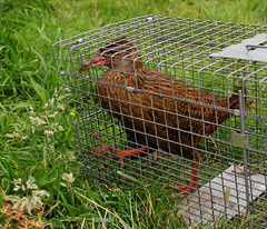 A poor Weka Photo