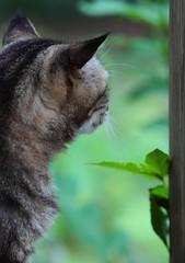 Master of all He Surveys III (Just George 2) Tags: portrait cat feline chat dof bokeh tabby kitty greeneyes gato kitteh bobby katze gatto gs kedi minou matou eartufts canonef135mmf2lusm canoneos5dmarkii canon135mmf2lusm tuftedears