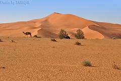 Camel (TARIQ-M) Tags: texture landscape sand waves desert dunes camel riyadh saudiarabia         canonef70200mmf4lusm     canon400d          canon400dsaudiarabia