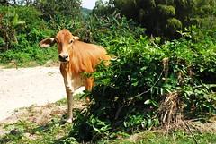 vaca (ma vie en rouge) Tags: southamerica coast colombia palomino amricadosul sudamrica vaka laguajira