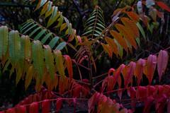 Sumac (asaph70) Tags: red orange color colour green fall leaves leaf sumac