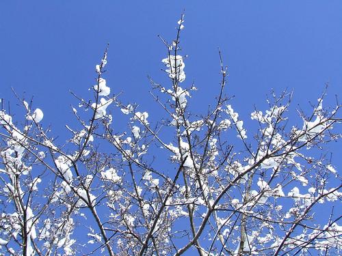 Cherry Blossom v Snow