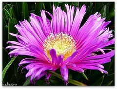Flor uña de gato (celicom) Tags: carpobrotus aizoaceae carpobrotusedulis uñadegato mixedflowers flowersarebeautiful excellentsflowers exquisiteflowers mimamorflowers flickrflorescloseupmacros uñadeleon mesembryanthemumedulis
