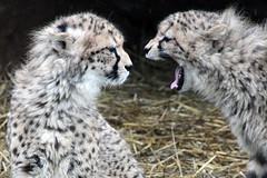 Cheetah Yell (MykReeve) Tags: cats animal animals delete10 cat mouth delete9 fur mammal delete5 zoo delete2 delete6 delete7 yawn save3 delete8 delete3 save7 save8 delete delete4 save save2 save4 cheetah save5 save6 mammals delete11 cheetahs whipsnadezoo acinonyxjubatus delete12 delete13 zsl zslwhipsnadezoo deletedbythehotboxuncensoredgroup geo:lat=5184318343458511 geo:lon=05480332107033519