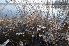 Feisnecksee im Winter (ThomasKohler) Tags: winter lake cold ice reed see february kalt eis schilf februar studie mecklenburg müritz feisneck seenplatte mueritz mecklenburgische müritzsee mueritzsee feisnecksee kristallbildung