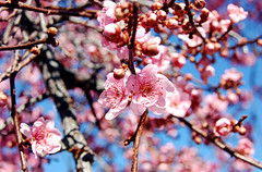Flowering Plum (Nick Leonard) Tags: pink vegas flowers blue plants plant tree nature floral lasvegas nevada nick floweringplum nickleonard
