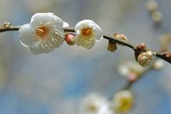 ume ~ Japanese apricot (snowshoe hare*(mostly off)) Tags: flowers kyoto 京都 ume 梅 plumblossoms japaneseapricot ウメ kitanotenmangushrine prunusmume 北野天満宮梅苑