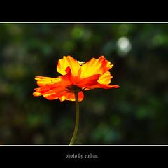 cosmos flower #23 (e.nhan) Tags: flowers light flower art nature closeup dof bokeh cosmos backlighting enhan