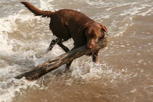 Joy - chocolate Labrador Retriever
