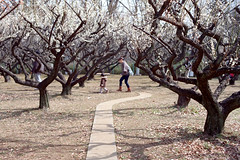 Plum grove (Woodenship) Tags: film japan tokyo spring plum snap konica hexanon