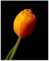 Opening (LuAnn Hunt) Tags: black flower yellow stem tulip opening blink onblack bestofblinkwinners