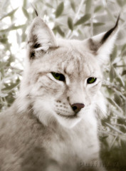 Wild Beauty I (PuffinArt) Tags: wild portrait animal sepia cat nikon retrato puffinart nikkor captive vr captivity linx greenish dashofcolor d300 lince cativeiro 18200mm gatoselvagem vandamalvig softlook dreamylook