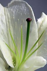 lily (daniel(I love film) :-)) Tags: flower macro up canon close bokeh 100mm usm liky 40d