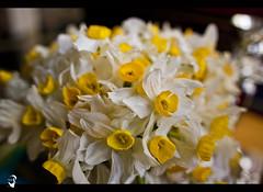 Nergiz (Mustafa Khayat) Tags: flower march iraq mk kurdistan kurd newroz nergiz nawroz mkphotography mustafakhayatphotography mustafakhayat