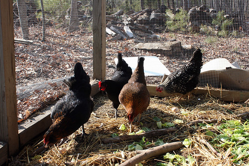 To the left, a black chicken whose neck feathers have coppery edging.  Behind her is a solid black chicken.  Next from left to right is Bebelina, and then behind Bebelina is a white chicken whose feathers have black edging.  All the chickens have their heads down, picking through the bounty of eggshells, greenbeans, and hearts of romaine lettuce that were tossed out to them.