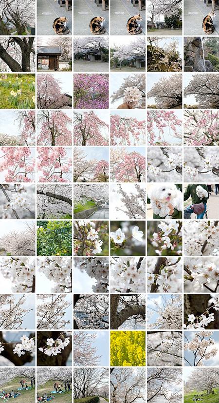 Flickr Set Thumbnail 桜(2010)