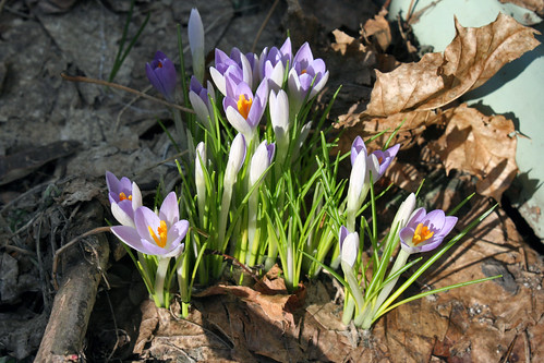first crocuses 014
