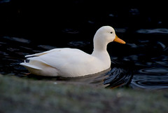 WhiteDuck (Ivan Naurholm. thanks, for more than 500.000 views) Tags: white bird nature duck albino hvid flickrchallengegroup