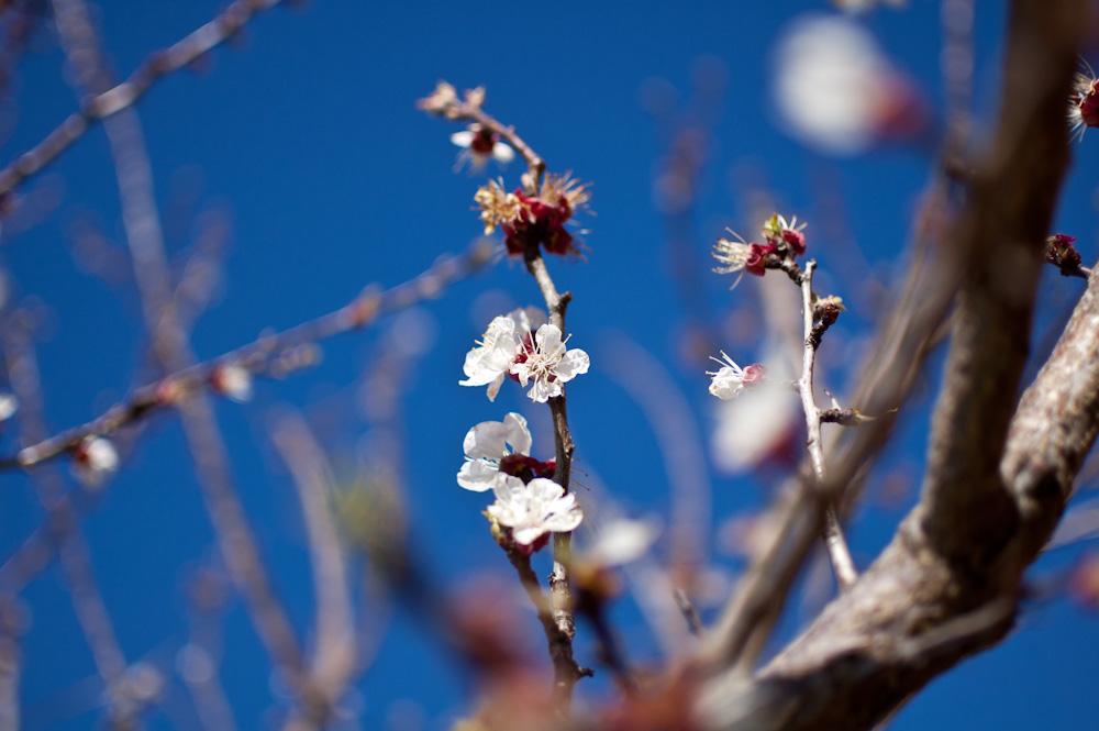 Fotos de Albaricoquero (Prunus armeniaca) visto a 1.8