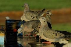 Pombas (Doves) (Ricardo Mercadante) Tags: family portrait bird water birds gua brasil sony aves ave parana animais pssaros doves pombas hx1 quatropontes