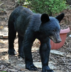 Yearling on a Path (Carol Sadler Photography) Tags: bear cub blackbear yearling blackbearcub yearlingblackbear yearlingbear yearlingbearcub