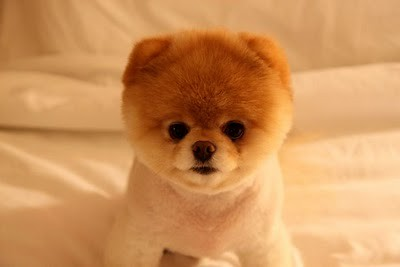 boo_Pomeranian_Dog_15