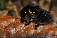 Hummel mit Insekten (JanineCatherine) Tags: wood brown nature natur braun wald insekten hummel