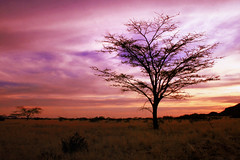 Twilight on the Savanna.. (areyarey) Tags: africa travel pink trees sunset wild sky sun hot tree tourism nature beautiful grass silhouette horizontal sunrise landscape dawn golden twilight bush scenery colorful warm glow natural bright dusk african relaxing scenic vivid dry calm safari clear harmony destination environment savannah backlit bushes namibia veld radiant calmness savanna ecotourism bushveld areyarey