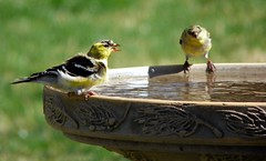 American Goldfinch (Adventurer Dustin Holmes) Tags: bird birds animals midwest birdbath wildlife goldfinch aves finch finches missouri ozarks birdwatching americangoldfinch goldfinches fringillidae backyardwildlife northamerican passeriformes chordata finchs wildcanary americangoldfinches easterngoldfinch goldfinchs spinustristis granivore wildcanaries americangoldfinchs