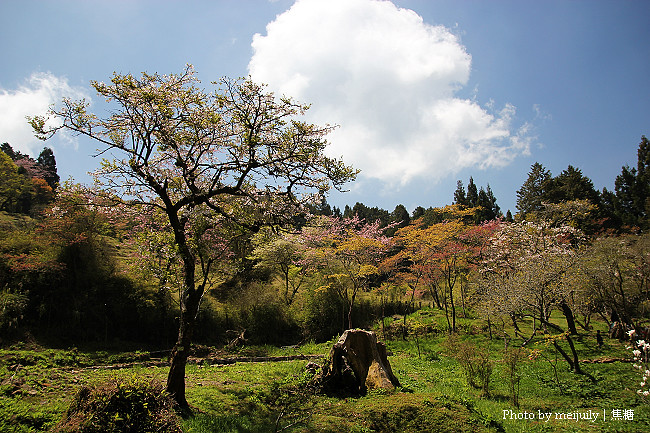 2011阿里山櫻花季晴天版28