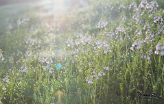 Wake up flowers... (DianeD.) Tags: morning flowers wild sun flower nature wet water fleur grass norway fleurs canon soleil norge eau quiet sweet violet dew 5d rest 24 24mm calme herbe norvege repos norvge violette mouille doux rose 2485mm 2485 matinale canonef2485mmf3545usm dianed