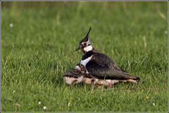 We can all get underneath Mum! (Smudge 9000) Tags: england birds spring unitedkingdom wildlife reserve lapwing chicks 2014 nnr elmley minsteronsea