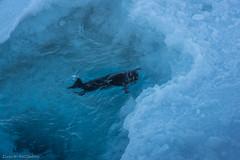 Harp seal 1 (Elvar H) Tags: arcticocean harpseal helmerhansen phocagroenlandica siarctic grnlandssel sealsampling vuselur