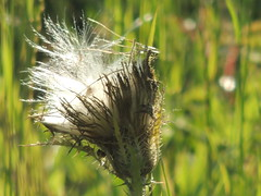 Escaping in the Wild (maorlando - God keeps me as I lean on Him!!) Tags: wildflower weed yellowthistle texas seeds pasture field flower bloom nature creation