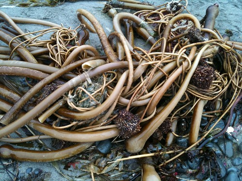 More kelp. It's like a  David Cronenberg movie crawled up on the beach and exploded.