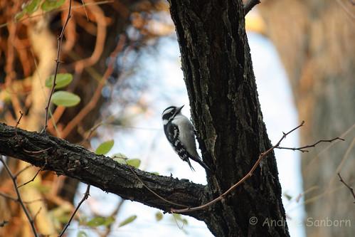 Downy Woodpecker In the City-2.jpg
