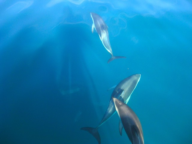 Dusky Dolphins, Marlborough Sounds, New Zealand
