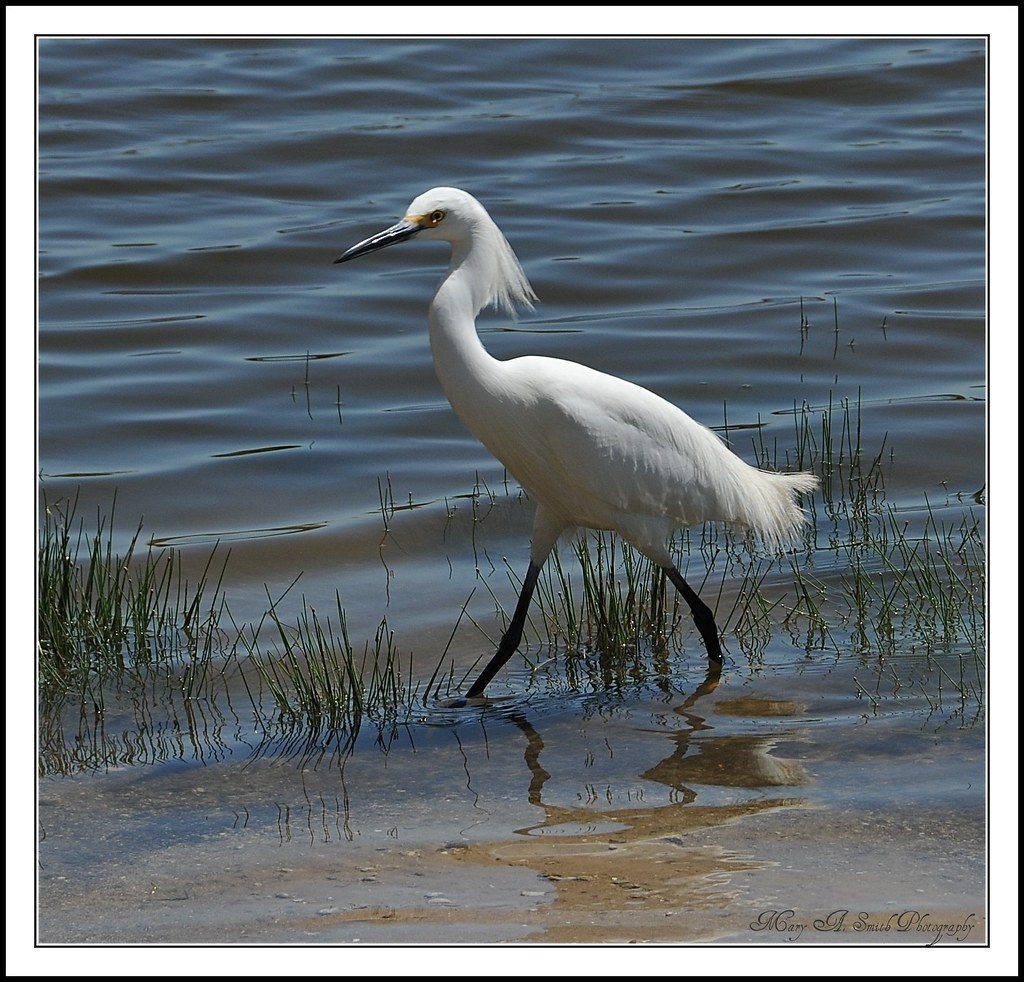 The Great Egret ~