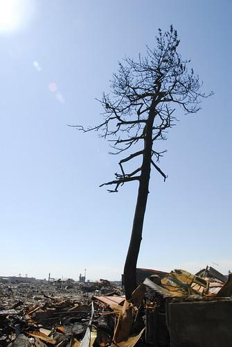 20110324石巻市立門脇小学校前のコカリナになった松